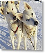 Portrait Of Two Husky Sled Dogs Metal Print by Paul Nicklen