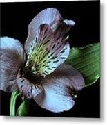 Pouvian Lilly On Black Metal Print by M K  Miller
