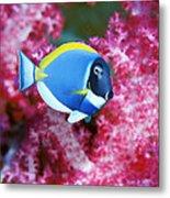 Powder Blue Surgeonfish Metal Print by Georgette Douwma