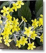 Primula Verticillata Flowers Metal Print by Bob Gibbons