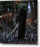 Proboscis Monkeys Travel Over Mangrove Metal Print by Tim Laman