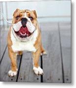 Puppy Dog Breed English Bulldog Metal Print by Maika 777