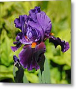 Purple And Orange Iris Flower Metal Print by Jai Johnson