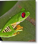 Red-eyed Leaf Frog Metal Print by Tony Beck