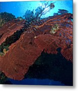 Red Fan Cora With Sunburst, Papua New Metal Print by Steve Jones