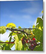Ripening On The Vines Metal Print by Steven Ainsworth