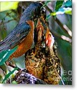 Robin Feeding Young 2 Metal Print by Terry Elniski