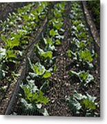 Rows Of Cabbage Metal Print by Anne Gilbert
