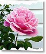Royal Kate Rose Metal Print by Will Borden
