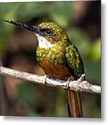 Rufous-tailed Jacamar Male Metal Print by Tony Camacho