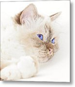 Sacred Cat Of Burma Metal Print by Melanie Viola