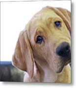 Sad Looking Yellow Lab With Head Tilted On Chair Metal Print by Back in the Pack dog portraits