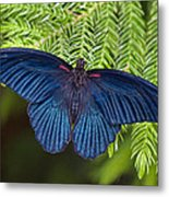 Scarlet Swallowtail Metal Print by Joann Vitali