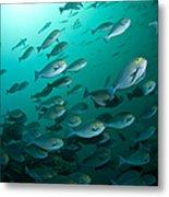 School Of Yellow Masked Surgeonfish Metal Print by Mathieu Meur