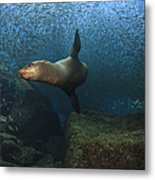 Sea Lion Chasing A School Of Bait Fish Metal Print by Todd Winner