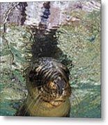 Sea Lion Portrait, Los Islotes, La Paz Metal Print by Todd Winner