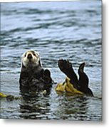 Sea Otter Enhydra Lutris Wrapped Metal Print by Konrad Wothe