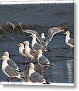 Seagulls Gathering Metal Print by Debra  Miller