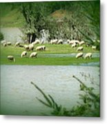 Sheep Grazing Amidst Flood Metal Print by Cindy Wright
