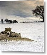 Sheep In Field Of Snow, Northumberland Metal Print by John Short