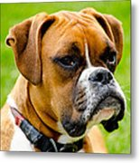 Sidney The Boxer Metal Print by Chris Thaxter