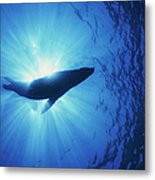 Silhouette Of A Sea Lion, La Paz Metal Print by Beverly Factor