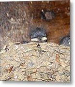 Sleeping Barn Swallows Metal Print by David Lee Thompson