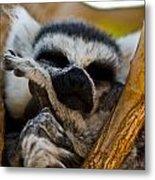 Sleepy Lemur Metal Print by Justin Albrecht