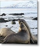 Southern Elephant Seals Sparring Metal Print by Charlotte Main