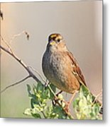 Sparrow Bird Perched . 40d12304 Metal Print by Wingsdomain Art and Photography