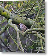Sparrow Bird Perched . 40d12307 Metal Print by Wingsdomain Art and Photography