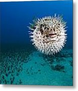 Spotted Porcupinefish II Metal Print by Dave Fleetham