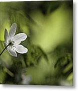 Spring Anemone Metal Print by Ulrich Kunst And Bettina Scheidulin