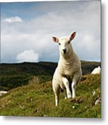 Spring Lamb On Hillside Metal Print by Kevin Day