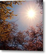 Spring Sunlight Over Cherry Blossoms  Metal Print by Vivienne Gucwa