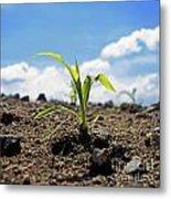Sprout Of Maize Metal Print by Bernard Jaubert