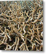 Staghorn Coral Metal Print by Matthew Oldfield
