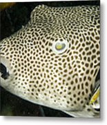 Star Puffer Fish Being Cleaned Metal Print by Tim Laman