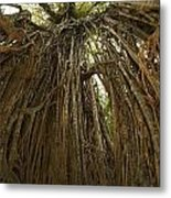 Strangler Fig Tree, Ficus Virens, Known Metal Print by Tim Laman