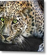 Sundari Metal Print by Big Cat Rescue