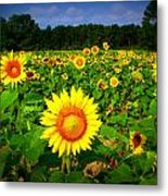 Sunflower Field Metal Print by Melessia  Todd