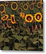 Sunflowers Metal Print by Anne Geddes