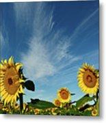 Sunflowers Metal Print by Robin Wilson Photography