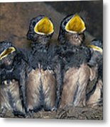 Swallow Chicks Metal Print by Georgette Douwma