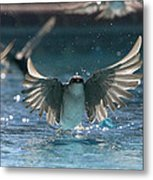 Swallows Drink From Pool Metal Print by Bryan Allen