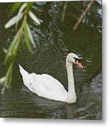 Swan Enjoying A Swim Metal Print by Corinne Elizabeth Cowherd