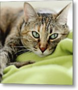 Tabby Cat On Green Blanket Metal Print by Dhmig Photography