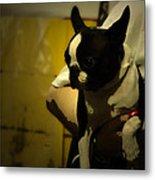 The Boston Bull Terrier  Metal Print by Steven  Digman