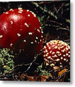 The Introduced Bright Red Fly Agaric Metal Print by Jason Edwards
