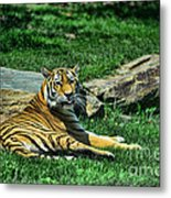 Tiger - Endangered - Lying Down - Tongue Out Metal Print by Paul Ward